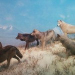 wolves-1308947_1920